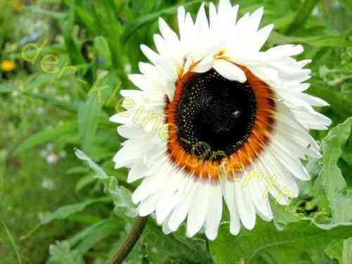 Sonnenblume Venidium weiß 50 Samen kaufen bei der-kleine-gaertner
