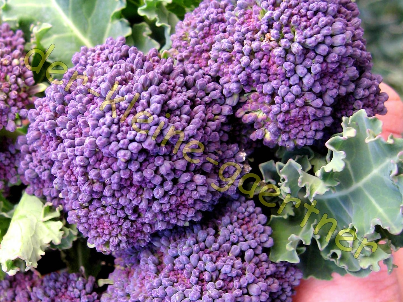 brokkoli broccoli violett 25 samen blumenkohl kaufen. Black Bedroom Furniture Sets. Home Design Ideas