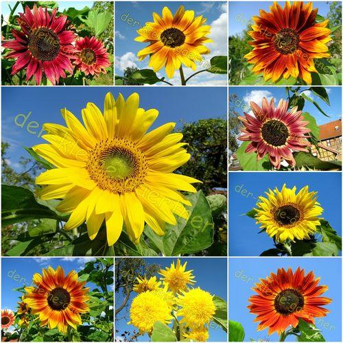 prachtiger sonnenblumen mix 10 sorten 100 samen