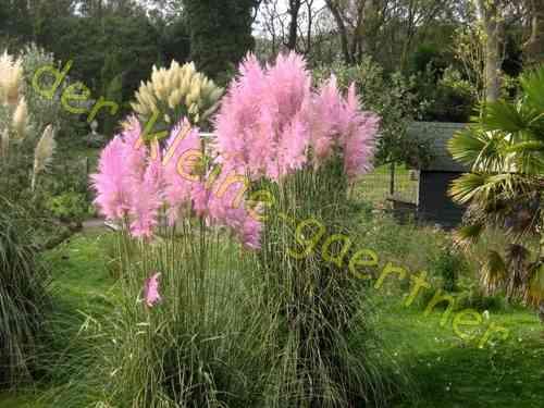 beet mit pampasgras, pampasgras rosa rose cortaderia selloana 30 samen kaufen aussäen!, Design ideen