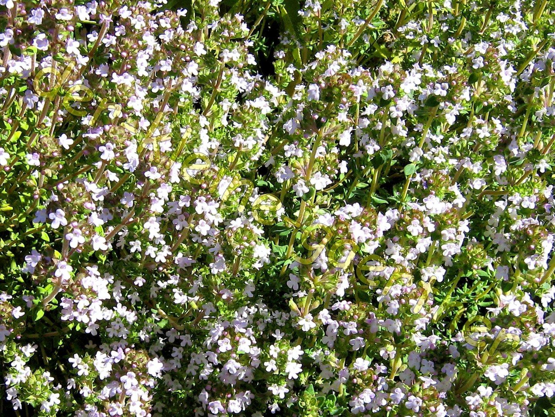 7x_Kraeuter_der_Provence_Thymian_Rosmarin_Oregano_Lavendel_.._Thymian