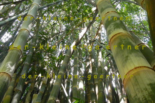 palmen bambus bananen exoten samen bestellen kaufen. Black Bedroom Furniture Sets. Home Design Ideas