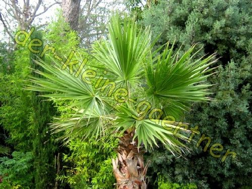 Washingtonia robusta Petticoatpalme Fächerpalme 10 Samen