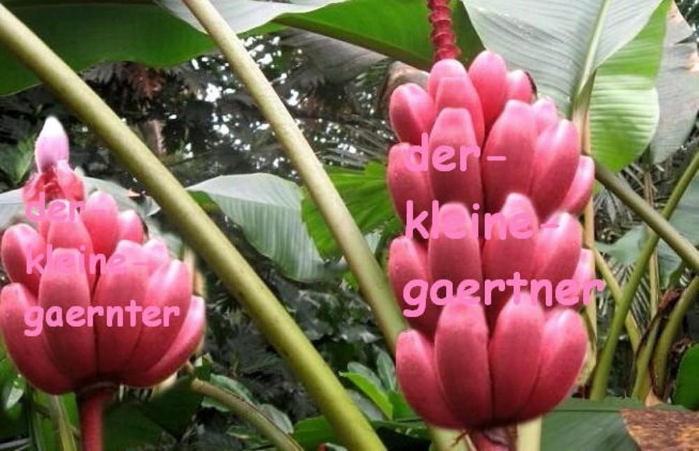 Anzuchtset Musa Velutina Rosa Zwerg Banane Keimbeutel 5 Samen Ka