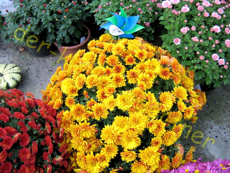 Chrysantheme Gefullt Herbst Aster Bunter Mix 50 Samen Kaufen
