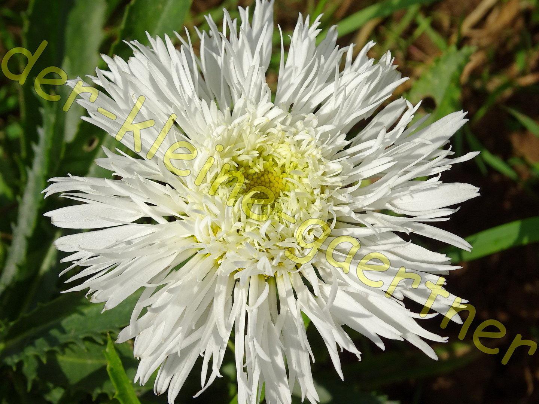 gef llte margerite chrysanthemum winterhart 30 samen kaufen. Black Bedroom Furniture Sets. Home Design Ideas