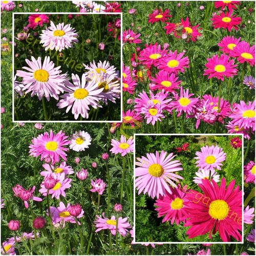 Bunte Margeriten Chrysanthemum absolut winterhart 50 Samen