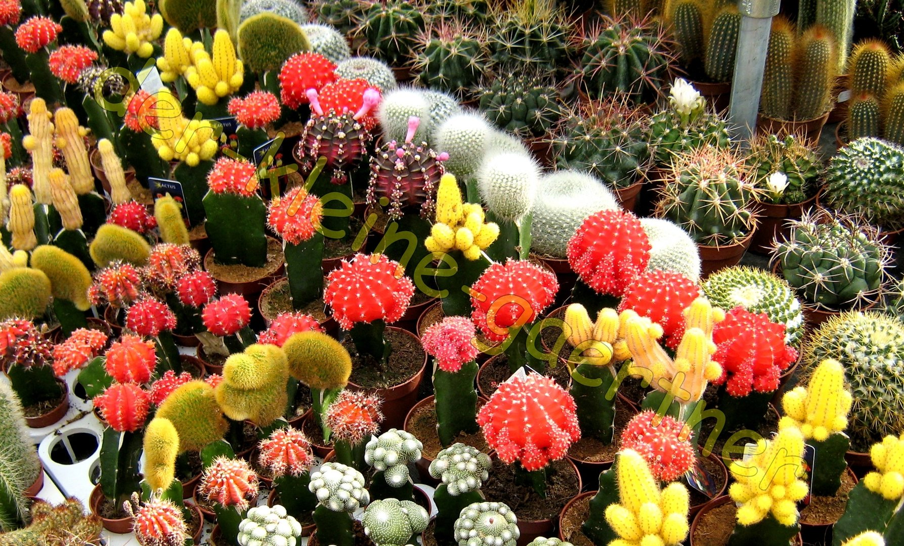 kakteen mix mit bunten bl ten kaktus 40 samen online kaufen. Black Bedroom Furniture Sets. Home Design Ideas