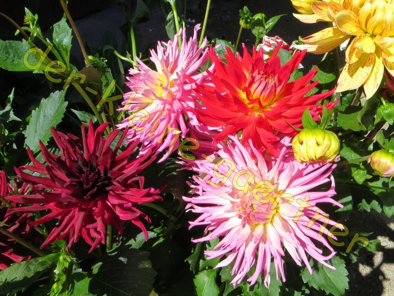 Kaktusdahlien Prachtmischung Fur Beet Balkon 30 Samen Kaufen