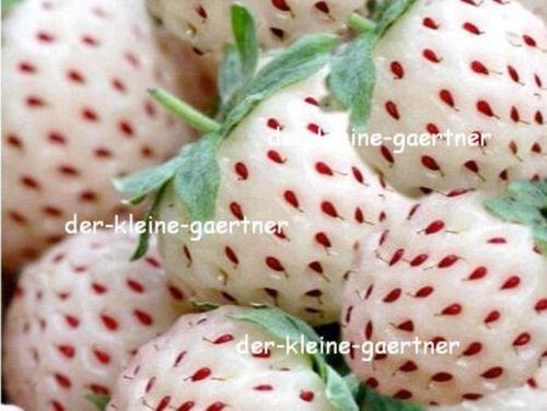 Beliebt Bevorzugt Weisse Erdbeeren Monatserdbeeren winterhart 25 Samen kaufen! @TB_75
