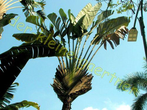 Etwas Neues genug Ravenala madagascariensis Baum der Reisenden 10 Samen kaufen! @VT_64